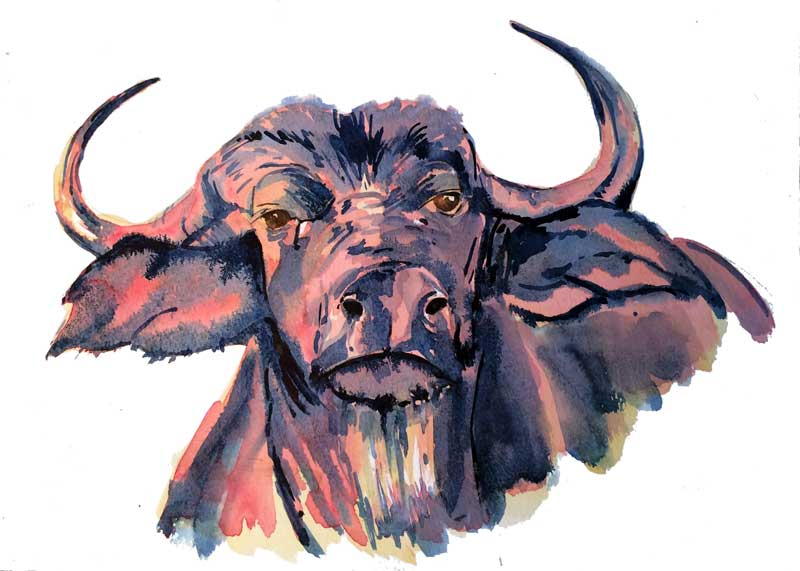 Buffalo watercolour